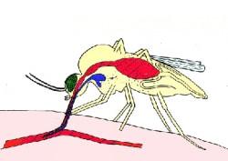 moustique-salive