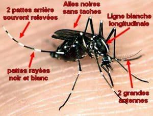 moustique-tigre-description