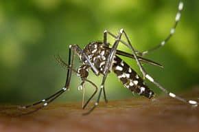moustique-tigre